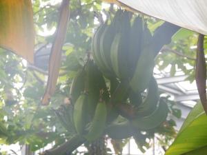 Musa × paradisiaca, die Banane