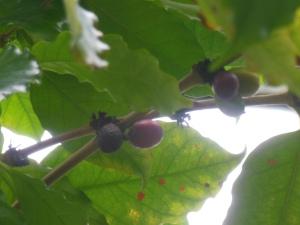 Coffea arabica, oder wie ihn seine wissenschaftlichen Freunde nennen Coffea L.